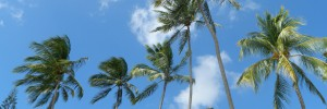 coconut trees in barbados