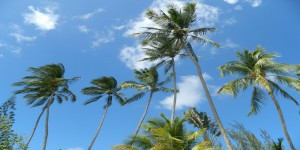 Barbados coconut trees